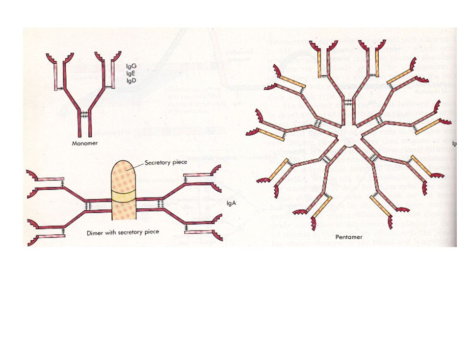 The basic antibody unit is a monomer, IgA is a dimer and IgM is a pentamer