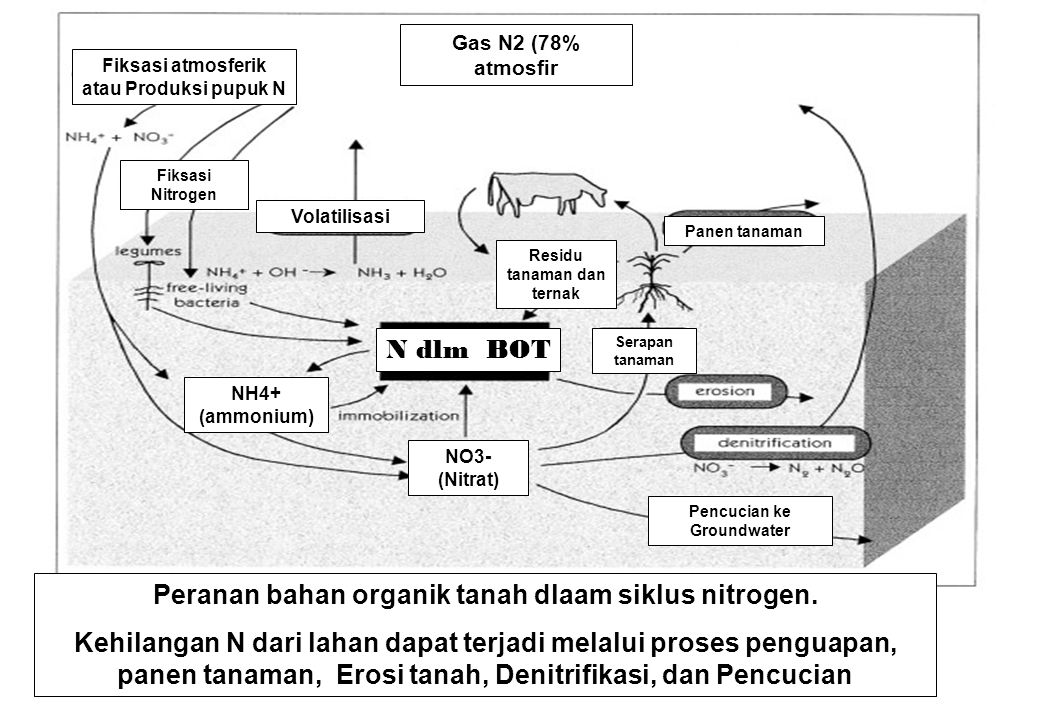 Peranan bahan organik tanah dlaam siklus nitrogen.