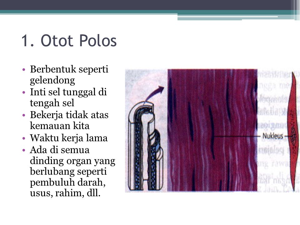 1. Otot Polos Berbentuk seperti gelendong