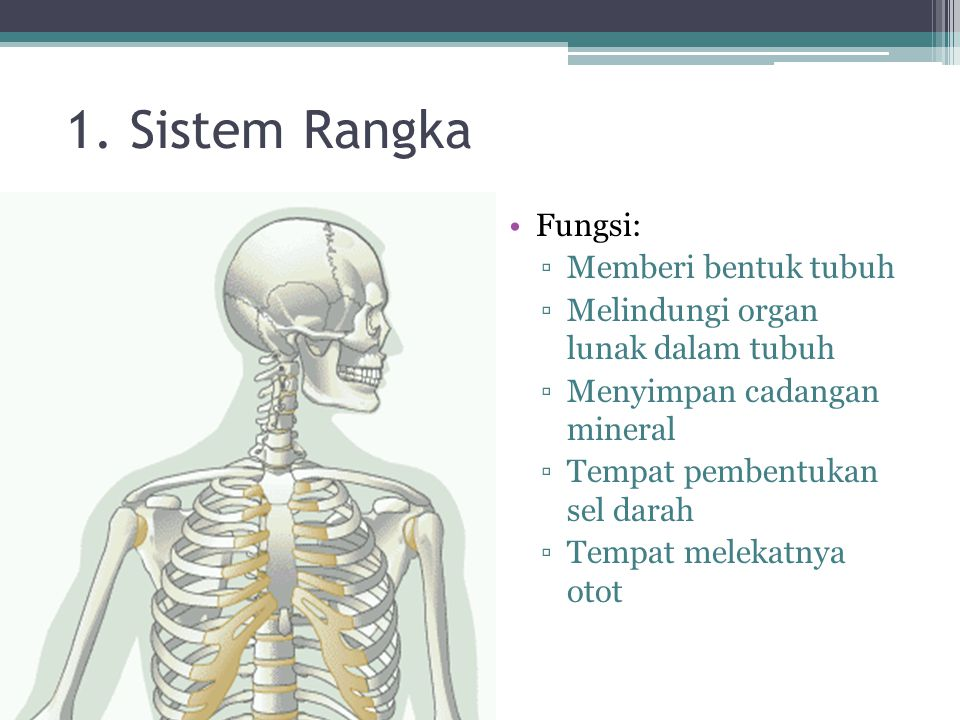 1. Sistem Rangka Fungsi: Memberi bentuk tubuh