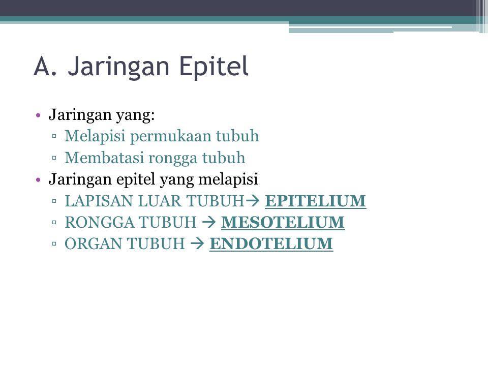 A. Jaringan Epitel Jaringan yang: Melapisi permukaan tubuh