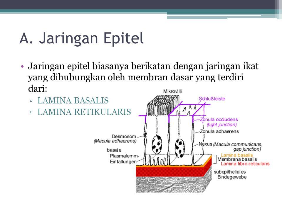 A. Jaringan Epitel Jaringan epitel biasanya berikatan dengan jaringan ikat yang dihubungkan oleh membran dasar yang terdiri dari: