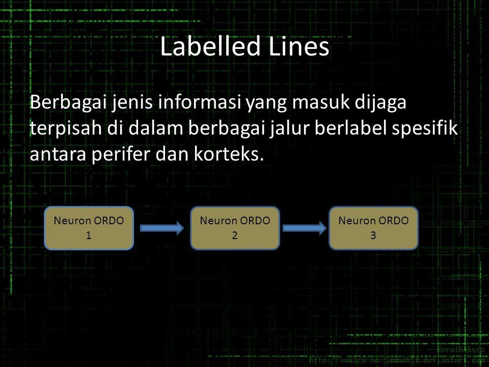 Labelled Lines Berbagai jenis informasi yang masuk dijaga terpisah di dalam berbagai jalur berlabel spesifik antara perifer dan korteks.
