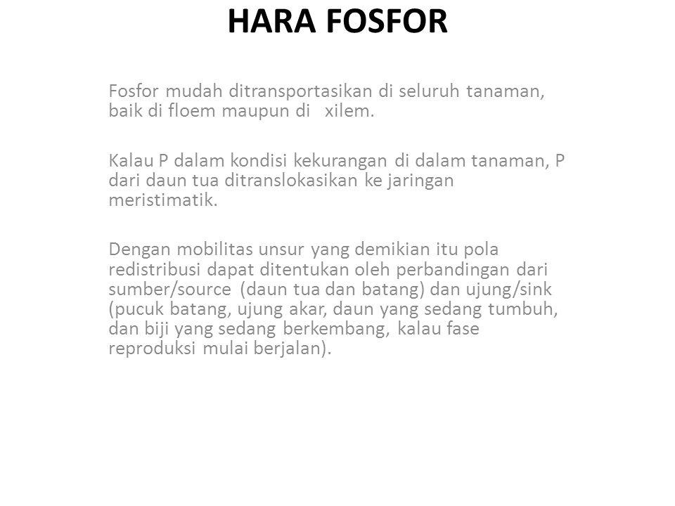 HARA FOSFOR Fosfor mudah ditransportasikan di seluruh tanaman, baik di floem maupun di xilem.