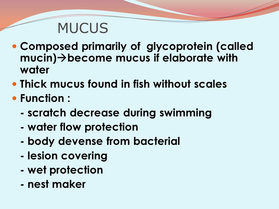 MUCUS Composed primarily of glycoprotein (called mucin)become mucus if elaborate with water. Thick mucus found in fish without scales.