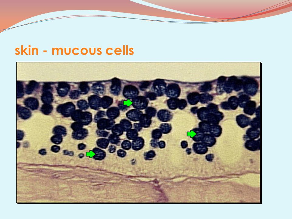 skin - mucous cells