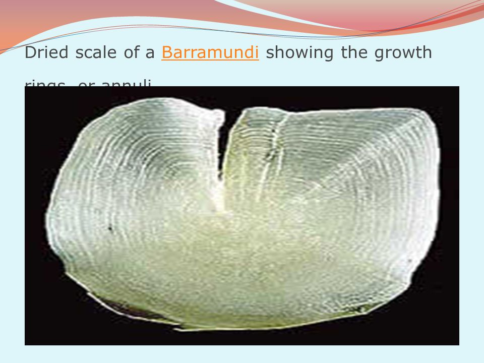 Dried scale of a Barramundi showing the growth rings, or annuli