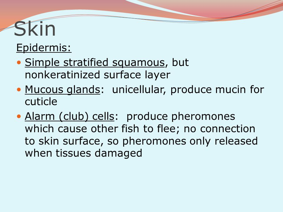 Skin Epidermis: Simple stratified squamous, but nonkeratinized surface layer. Mucous glands: unicellular, produce mucin for cuticle.