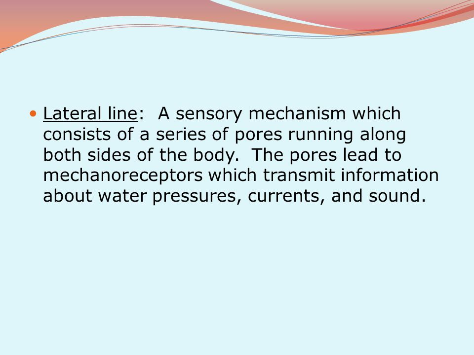 Lateral line: A sensory mechanism which consists of a series of pores running along both sides of the body.