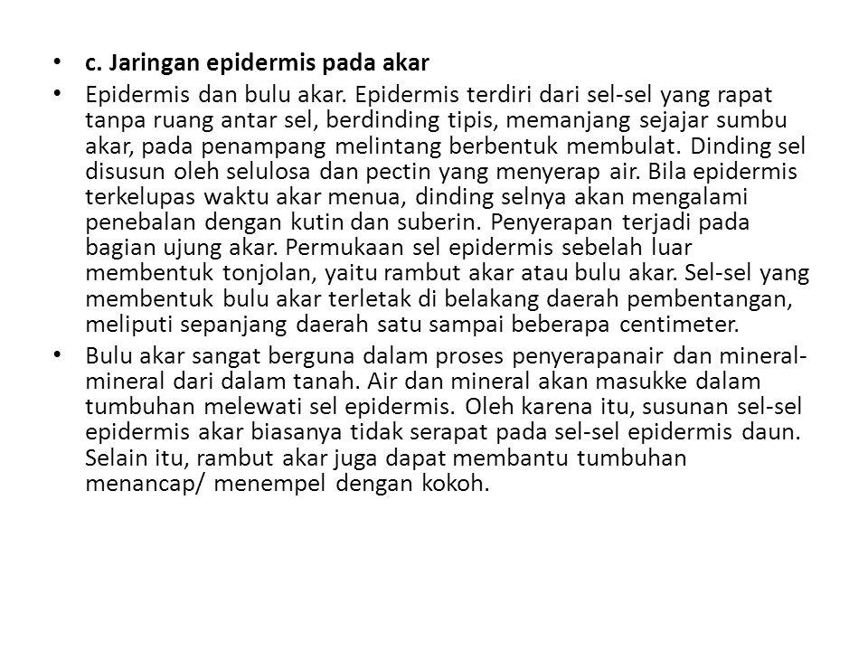 c. Jaringan epidermis pada akar