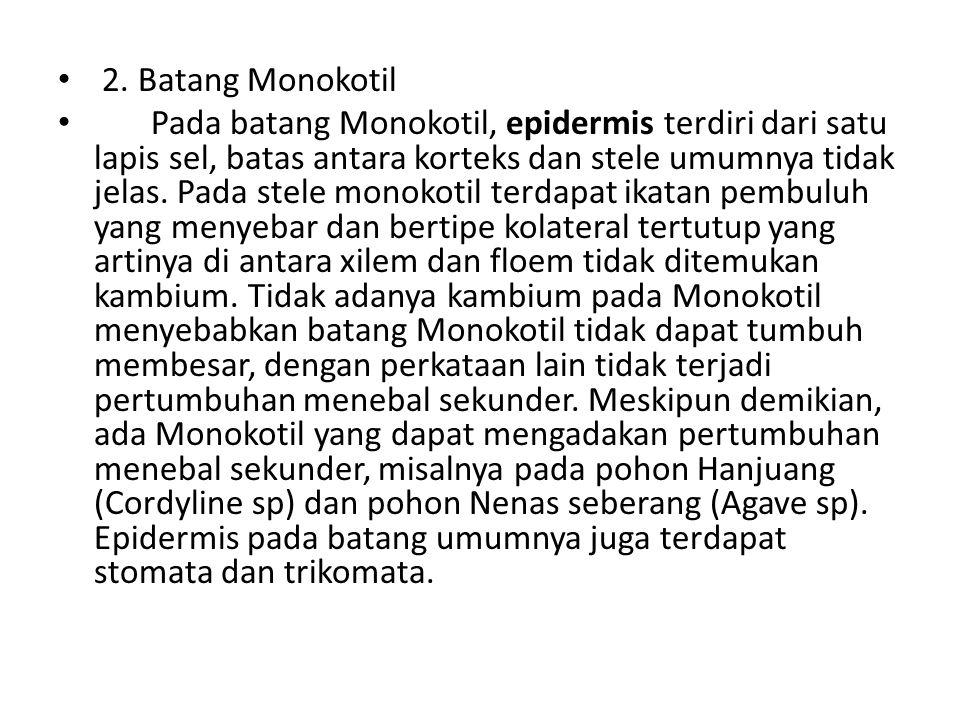 2. Batang Monokotil