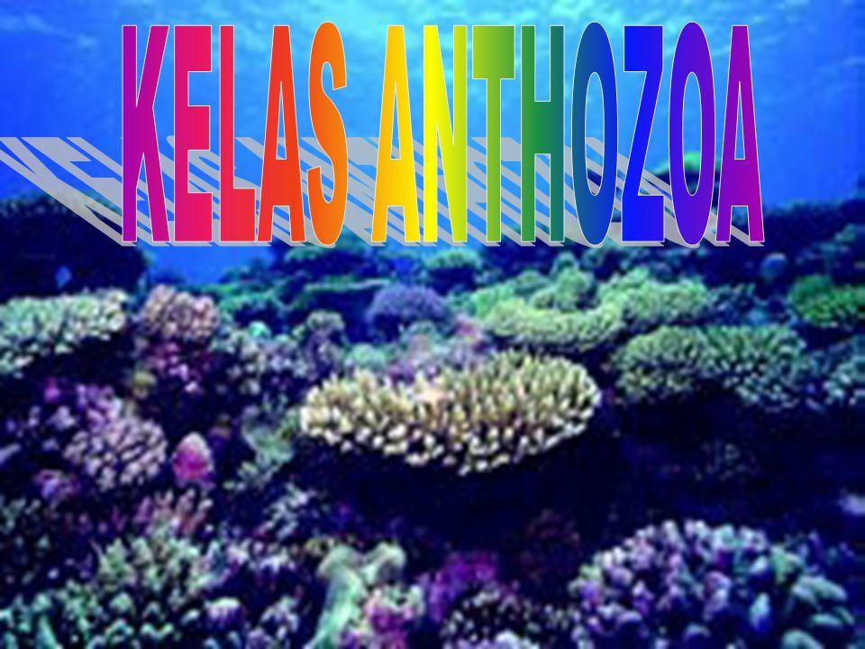KELAS ANTHOZOA