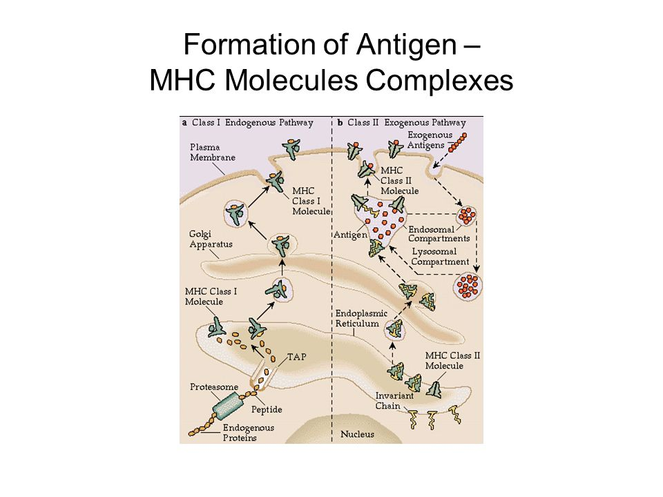 Formation of Antigen – MHC Molecules Complexes