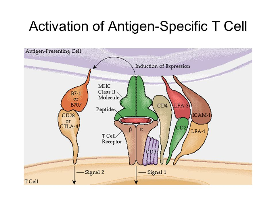 Activation of Antigen-Specific T Cell