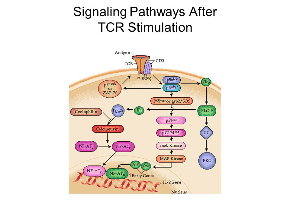 Signaling Pathways After TCR Stimulation
