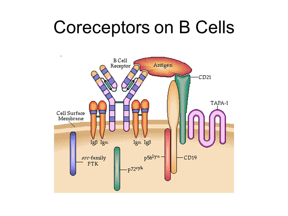 Coreceptors on B Cells