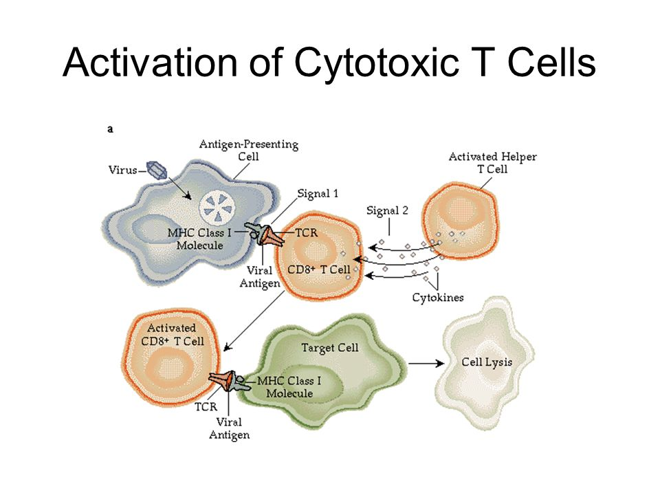 Activation of Cytotoxic T Cells