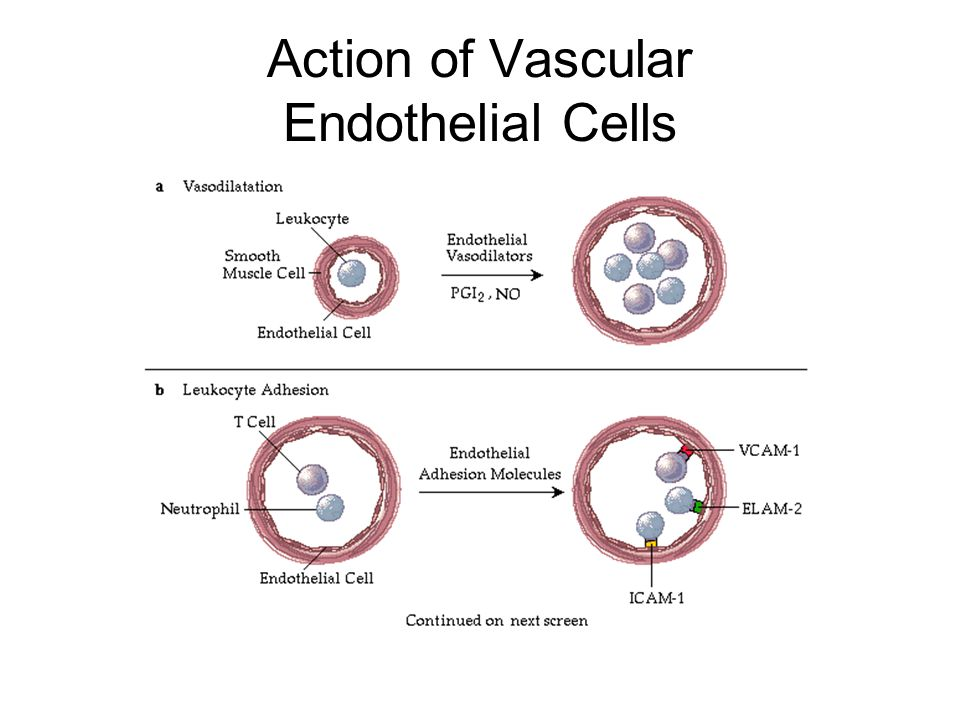 Action of Vascular Endothelial Cells