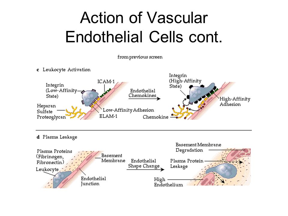 Action of Vascular Endothelial Cells cont.