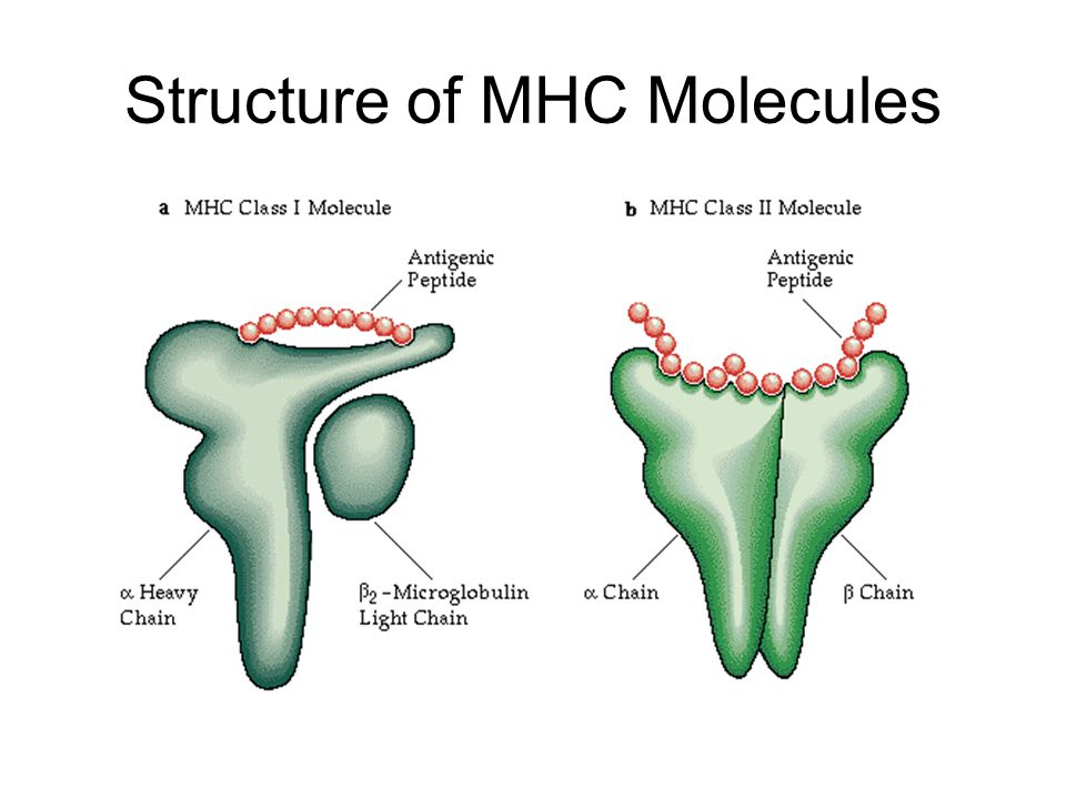 Structure of MHC Molecules