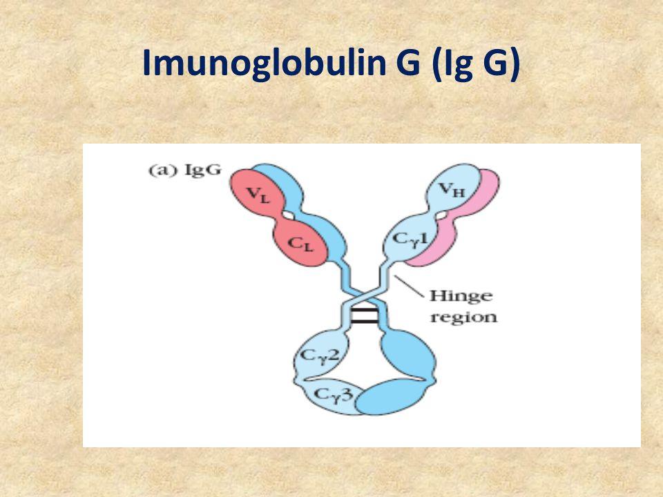 Imunoglobulin G (Ig G)