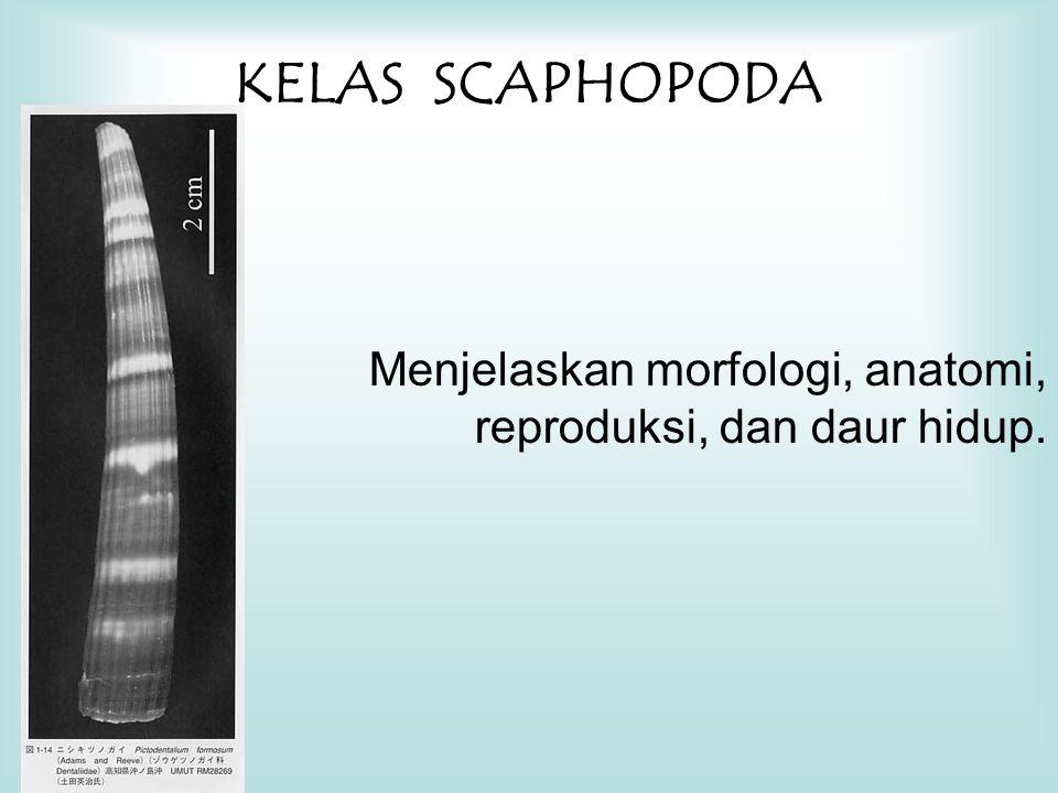 KELAS SCAPHOPODA Menjelaskan morfologi, anatomi, reproduksi, dan daur hidup.