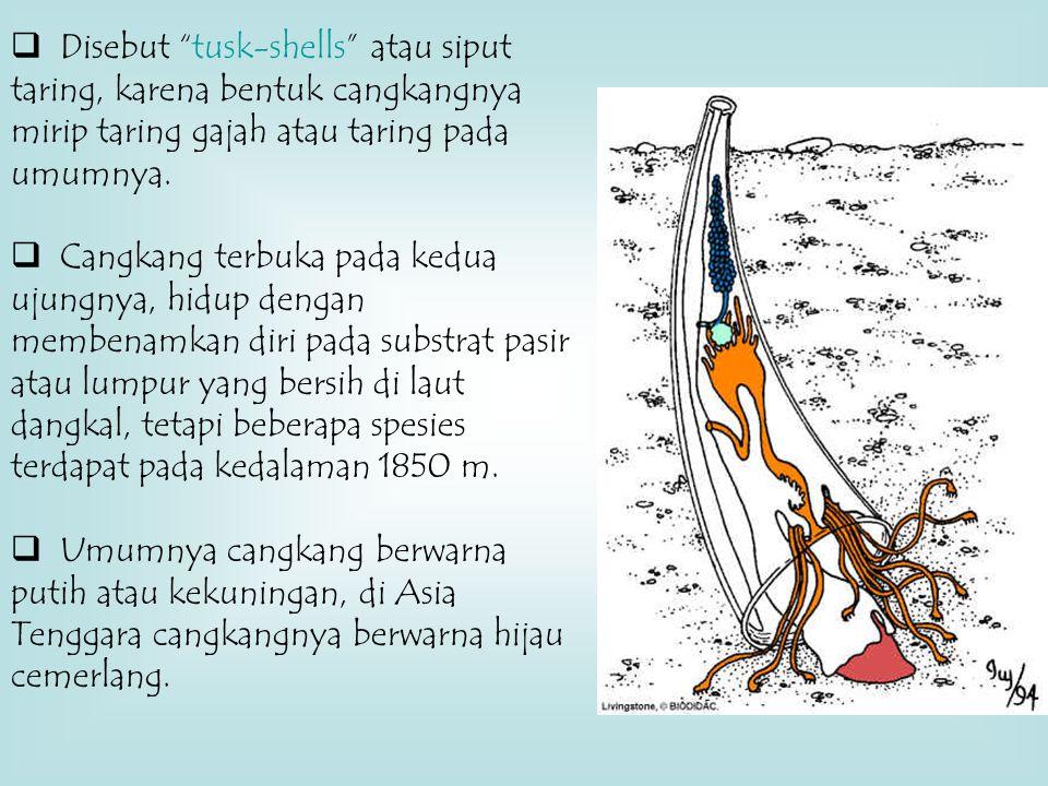 Disebut tusk-shells atau siput taring, karena bentuk cangkangnya mirip taring gajah atau taring pada umumnya.