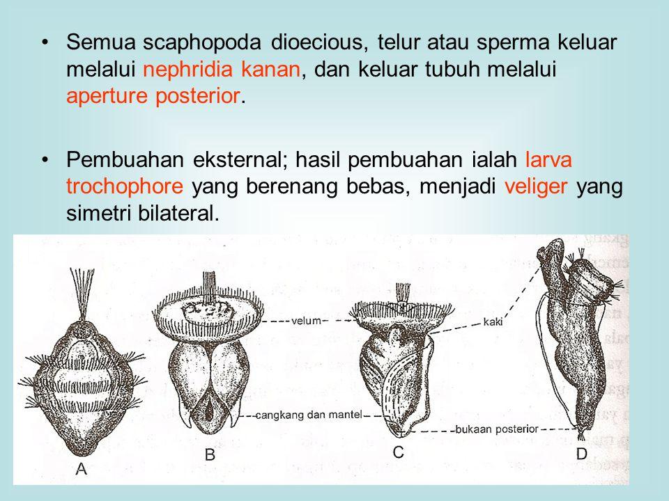 Semua scaphopoda dioecious, telur atau sperma keluar melalui nephridia kanan, dan keluar tubuh melalui aperture posterior.