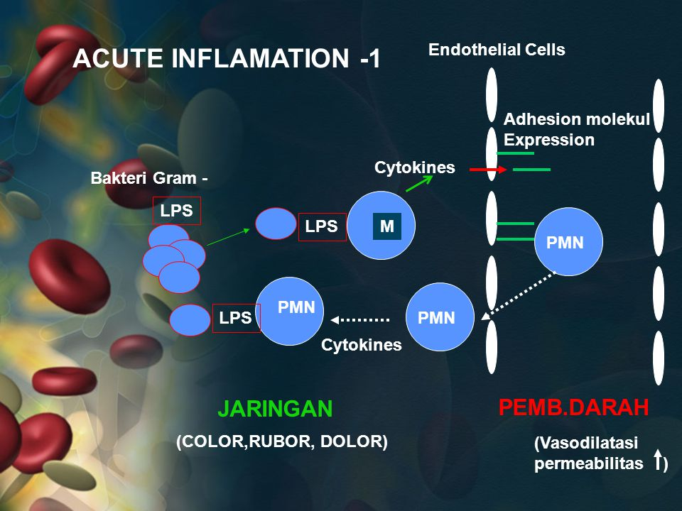 ACUTE INFLAMATION -1 JARINGAN PEMB.DARAH Endothelial Cells