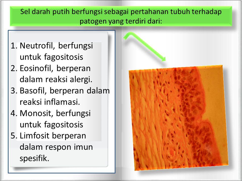 Neutrofil, berfungsi untuk fagositosis