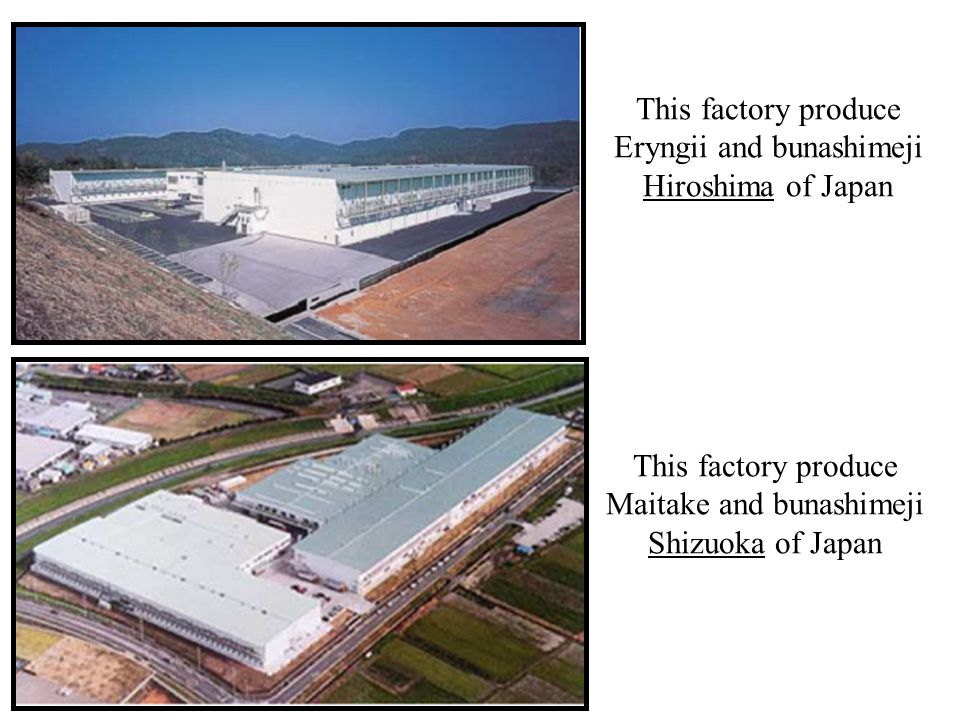 This factory produce Eryngii and bunashimeji Hiroshima of Japan