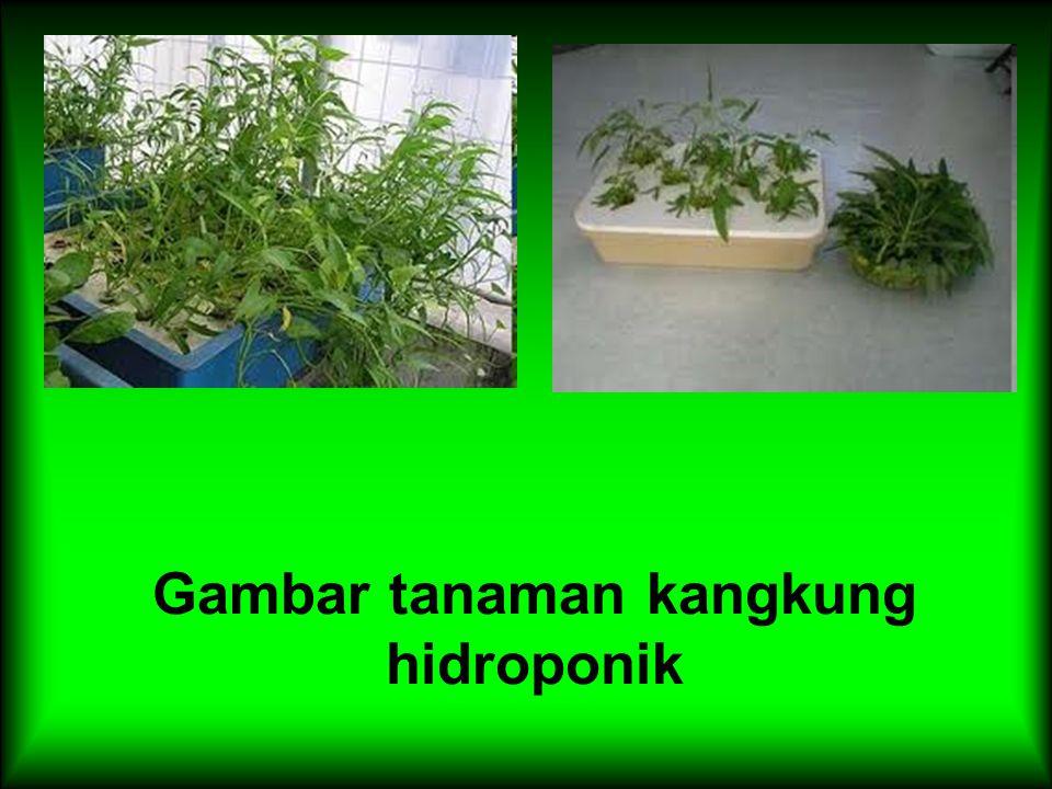 Gambar tanaman kangkung hidroponik