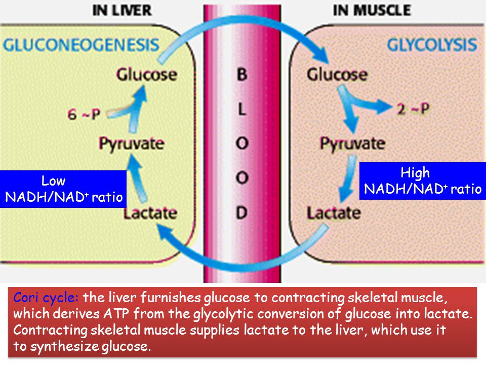 High NADH/NAD+ ratio. Low. NADH/NAD+ ratio. Cori cycle: the liver furnishes glucose to contracting skeletal muscle,