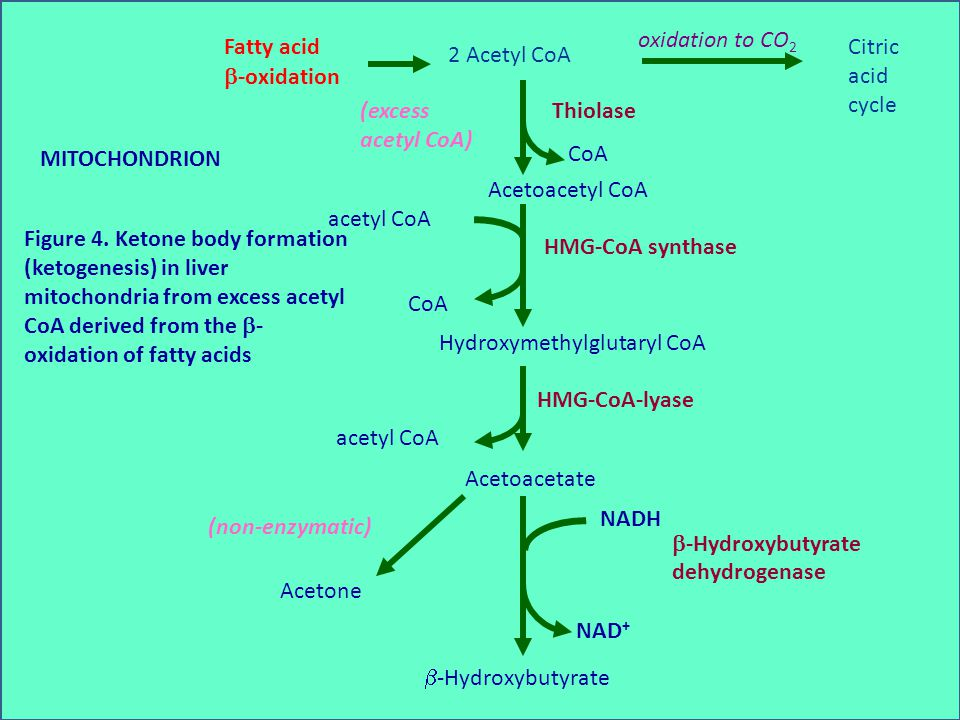 2 Acetyl CoA Fatty acid. -oxidation. Citric. acid. cycle. oxidation to CO2. Acetoacetyl CoA.