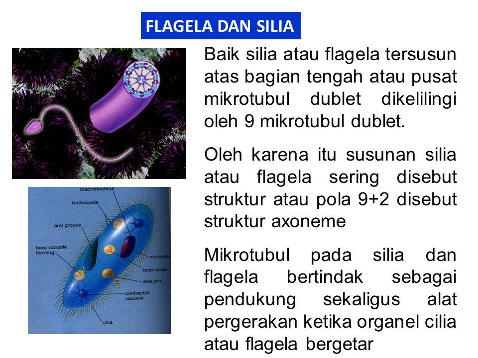 FLAGELA DAN SILIA Baik silia atau flagela tersusun atas bagian tengah atau pusat mikrotubul dublet dikelilingi oleh 9 mikrotubul dublet.