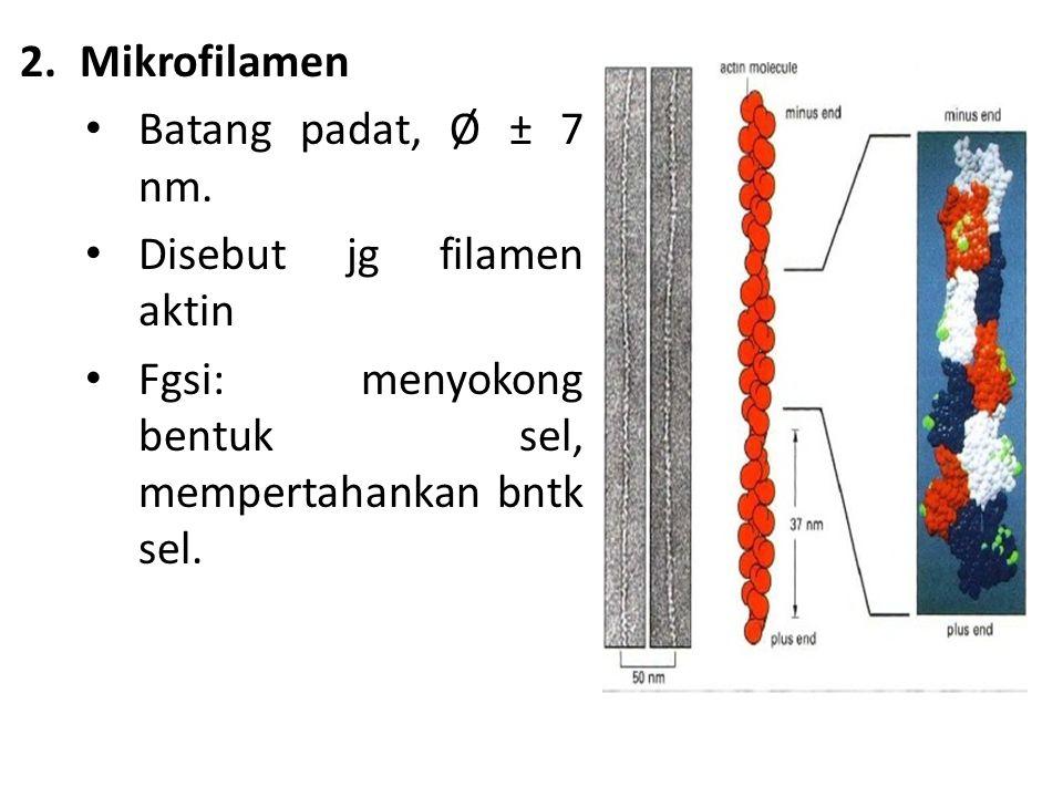 Mikrofilamen Batang padat, Ø ± 7 nm. Disebut jg filamen aktin.