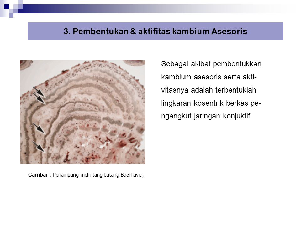 3. Pembentukan & aktifitas kambium Asesoris