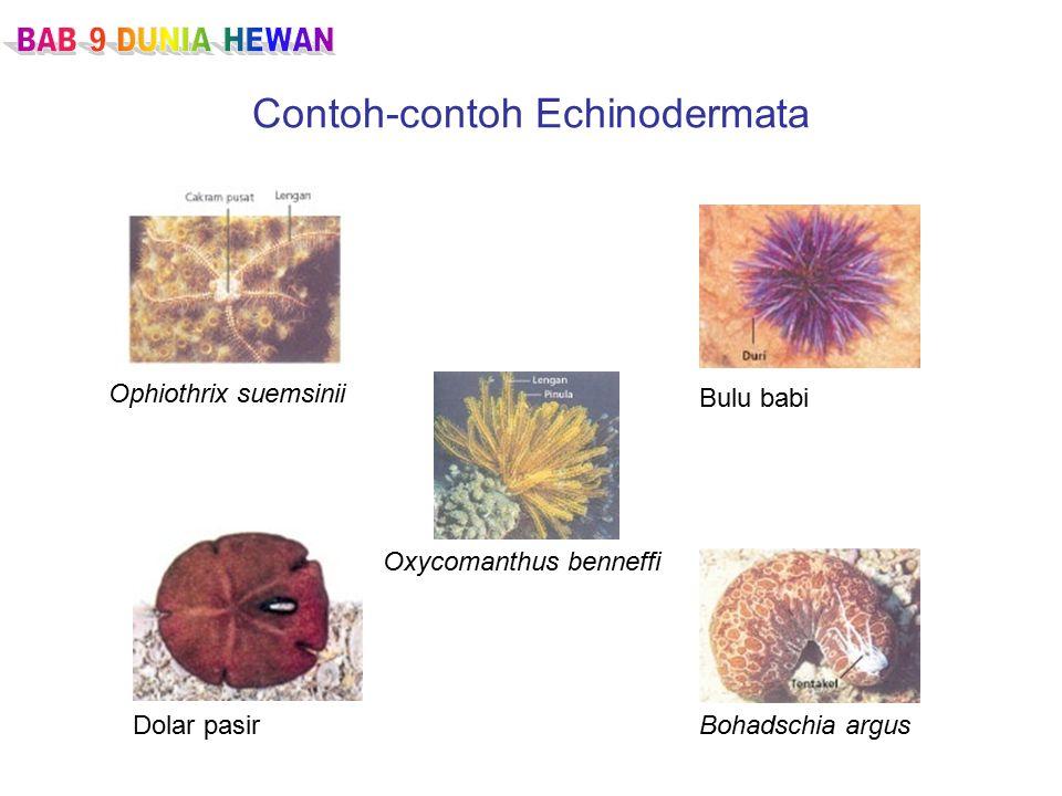 Contoh-contoh Echinodermata