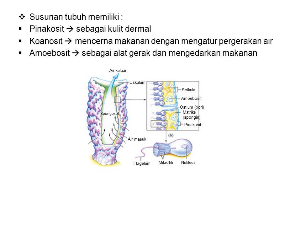 Susunan tubuh memiliki : Pinakosit  sebagai kulit dermal