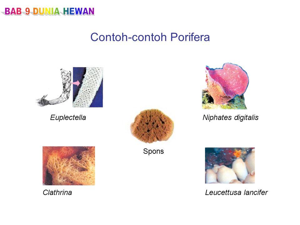 Contoh-contoh Porifera