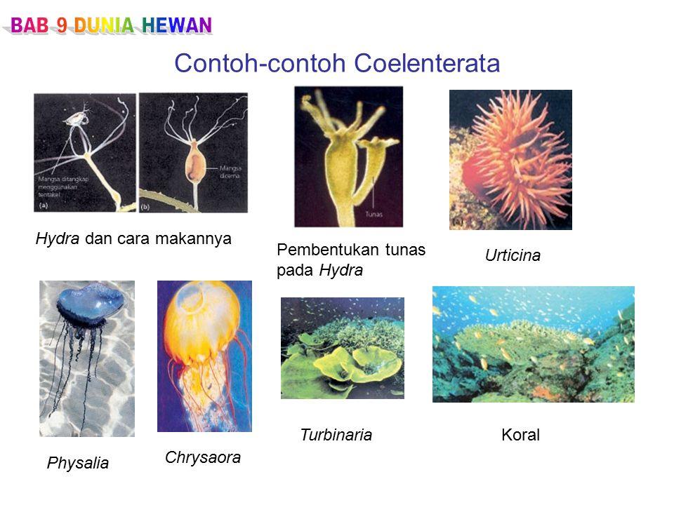 Contoh-contoh Coelenterata