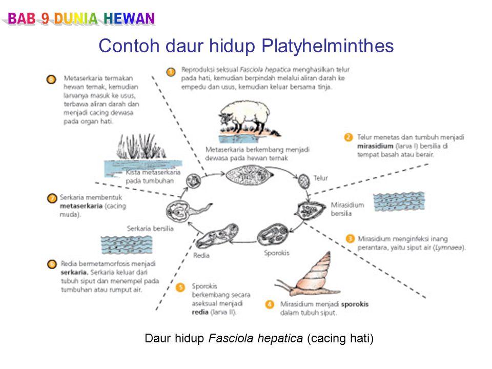 Contoh daur hidup Platyhelminthes