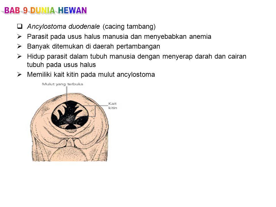 Ancylostoma duodenale (cacing tambang)