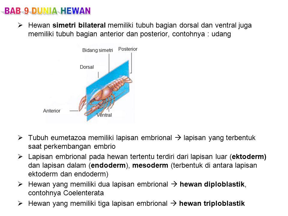 Hewan yang memiliki tiga lapisan embrional  hewan triploblastik