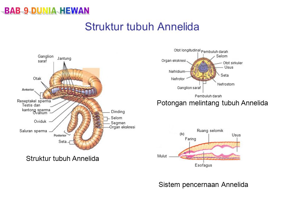 Struktur tubuh Annelida