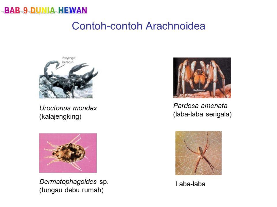 Contoh-contoh Arachnoidea