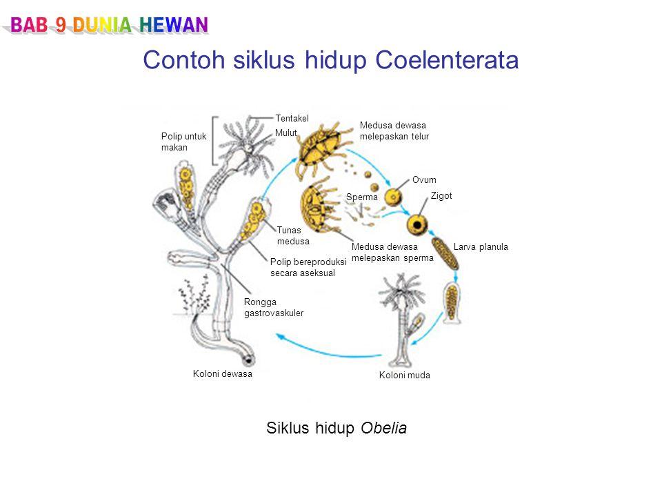 Contoh siklus hidup Coelenterata