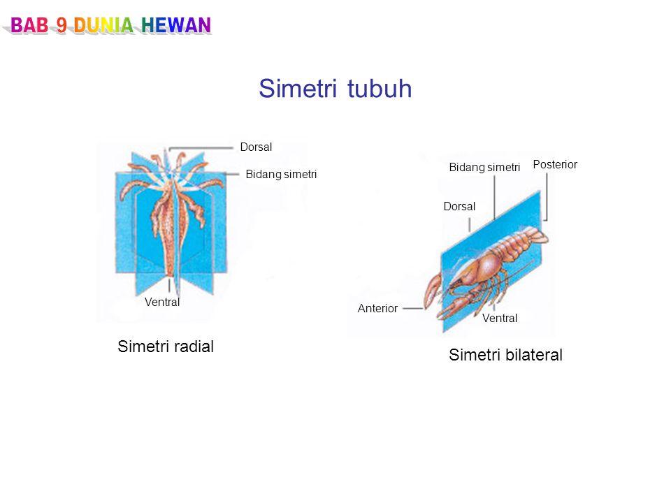 Simetri tubuh Simetri radial Simetri bilateral BAB 9 DUNIA HEWAN