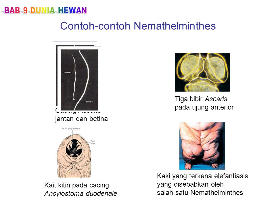 Contoh-contoh Nemathelminthes