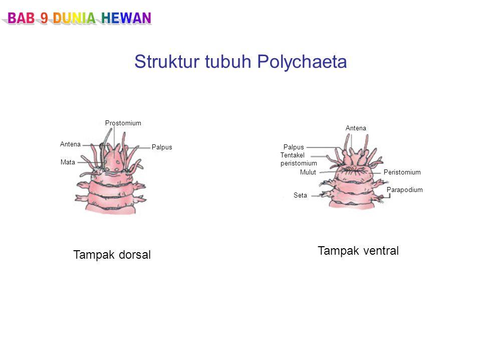 Struktur tubuh Polychaeta